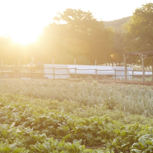 rows of crops in front of the setting sun