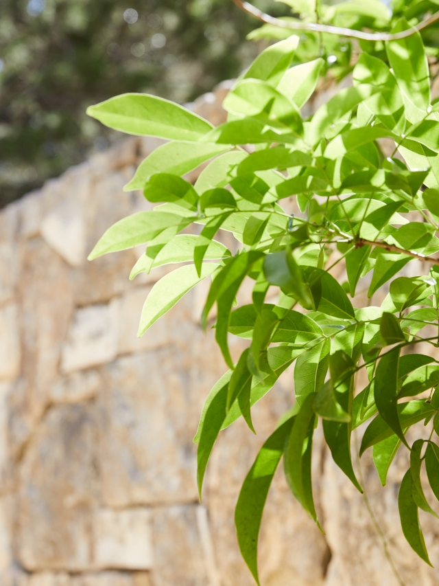 green tree in front of stone wall in austin texas